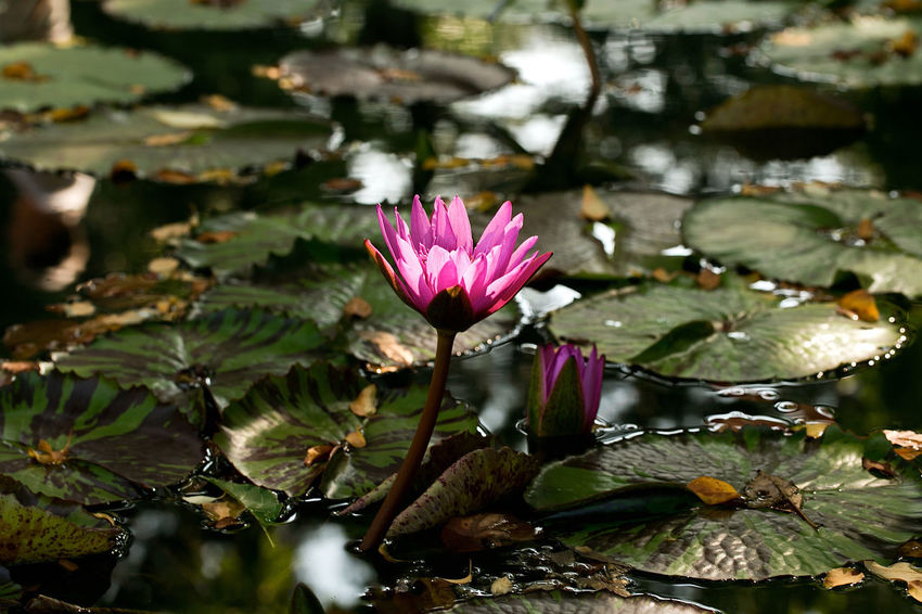 Water Lily Beauty In Nature Blooming Close-up Flower Flower Head Fragility Freshness Growth Leaf Lily Pad Lotus Water Lily Nature No People Petal Plant Water Water Lily