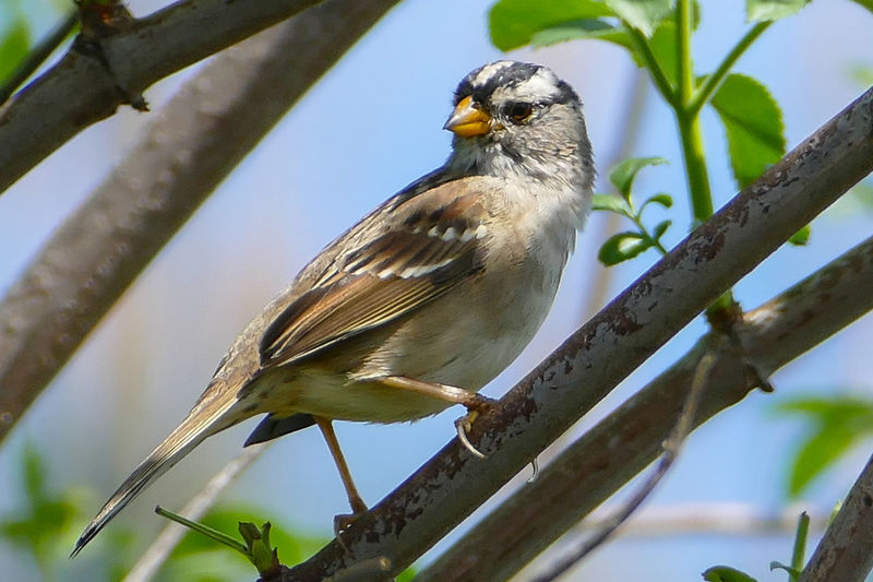 Animal Themes Avian Beauty In Nature Bird Close-up Day Focus On Foreground Nature No People Outdoors Perching Selective Focus Sparrow White-crowned Sparrow Wildlife
