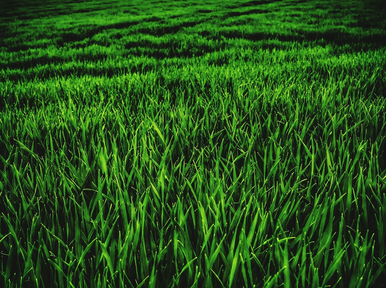agriculture, field, growth, nature, green color, farm, grass, cereal plant, crop, cultivated land, rice - cereal plant, no people, rice paddy, green, rural scene, beauty in nature, tranquility, landscape, day, wheat, backgrounds, outdoors, ear of wheat, scenics, rice, plant, full frame, freshness
