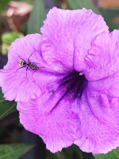 Insect Violet Flower Black Ant One Animal Flower Petal Nature Animal Themes Outdoors Beauty In Nature Flower Head Fragility Day Growth Close-up Plant No People IPhoneography Blooming Freshness