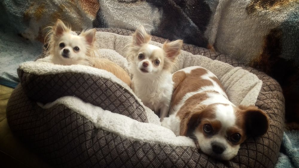 Kimmie,twinkie and mindie🐶🐕🐶 Hello World Taking Photos Check This Out From My Point Of View Ireland🍀 Animal Themes Dog Lovers🐾 Pets Dog Domestic Animals Cute Pets Portrait Close-up Togetherness Looking At Camera Indoors  Relaxation Light And Shadow My Bros Dogs Lying Down Comfort From My Eyes To Yours Friends Eyeem2017 Pets Of Eyeem