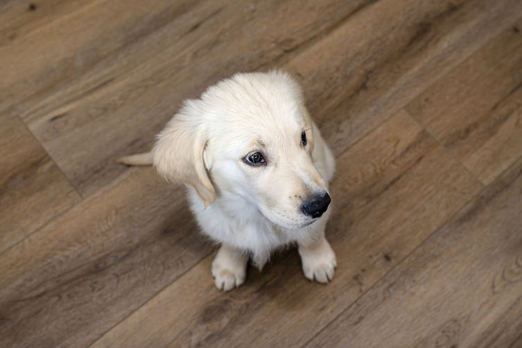 High angle view of puppy on hardwood floor