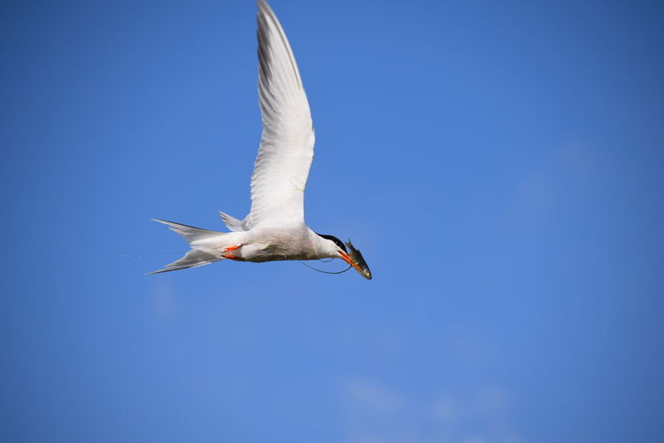 Low Angle View Of Tern Flying With Dead Fish Against Sky