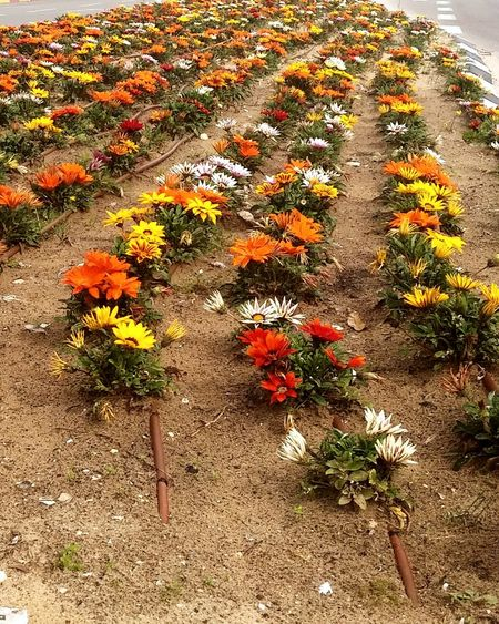 Rows of colorful flowers. Flowers Row Of Flowers Decoration Garden Gardening Colorful Colorfull Flower