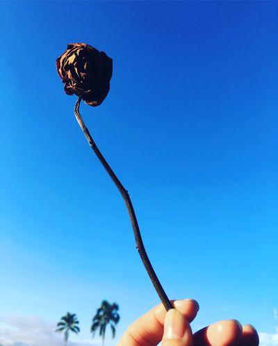Rose - Flower Affection Darkrose Love Sky And Clouds Maturity Mature Nature Randomshot