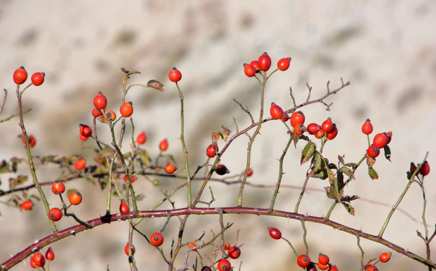 Red Nature Fruit No People Outdoors Close-up Beauty In Nature Branch Winter Tree Plant Part Day Plant Plant Part Red Romagnamia