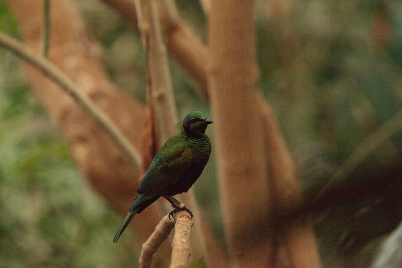 Emerald starling bird known as Lamprotornis iris is a beautiful green blue color Emerald Starling Lamprotornis Iris Animal Themes Animal Wildlife Animals In The Wild Bird Birds Close-up Day Focus On Foreground Green Bird Nature No People One Animal Outdoors Perching Starling
