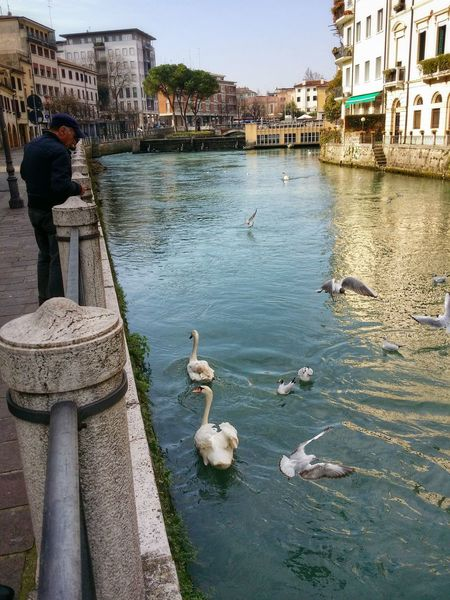 Showcase March Feeding The Urban Birds Sile River Treviso Italy Travel Photography Travel Traveling Mobile Photography Art Fineart Architecture Nature Urban Birds Swans Seagulls Pidgeons Mobile Editing