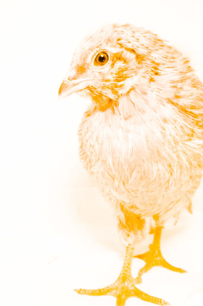 Chickens Color Color Portrait Chicken