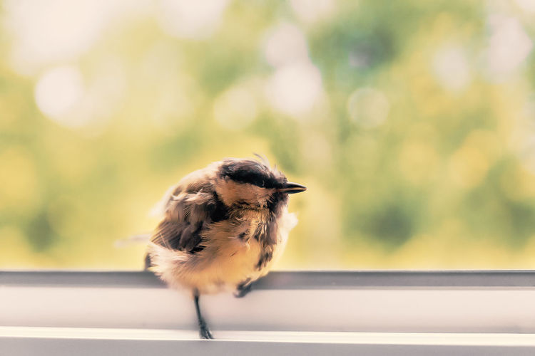 Hi, I stay at yours? / Chick sits by the open window and in no hurry to fly away. Animal Themes Animal Wildlife Animals In The Wild Bird Close-up Day Focus On Foreground Invasion Nature No People One Animal Outdoors Perching Trust