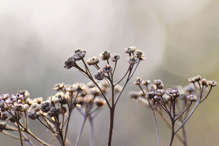 Dried tansy in foggy morning at the park Foggy Mist Tansy Dried Tansy Flower Head Flower Tree Branch Springtime Blossom Uncultivated Close-up Plant Landscape Botany Plant Life