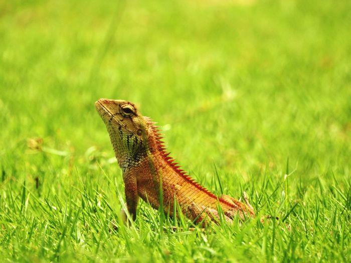 Lizard on grassy field