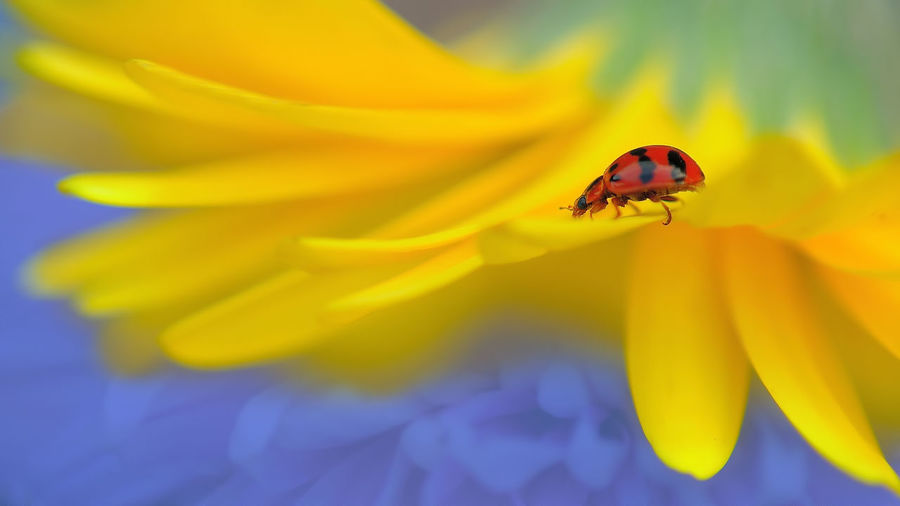 lady bug beauty Animal Animal Themes Animal Wildlife Animals In The Wild Beauty In Nature Close-up Flower Flower Head Flowering Plant Fragility Freshness Inflorescence Insect Invertebrate Nature No People One Animal Petal Plant Pollen Pollination Small Vulnerability  Yellow