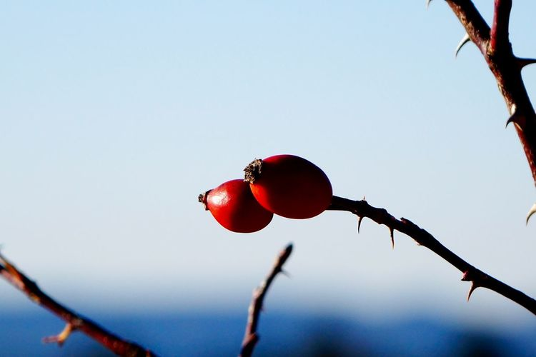 Branch Close-up Focus On Foreground Fruit Macro_collection Macroclique Nature Outdoors Red Twig