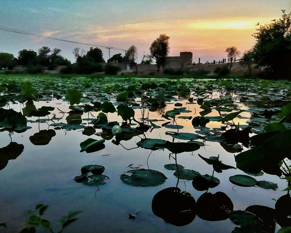 Reflection Water Outdoors Sunset Beauty In Nature Water Lily Pakho Sindh