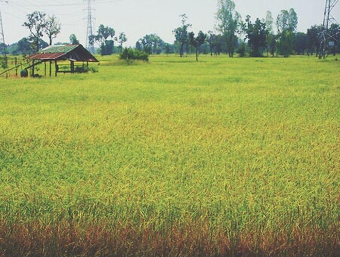 It is a rice field. Field Myhometown Landscape Lovemyhome