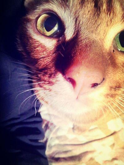 Bingley! :) Cats Bingley Ocicat