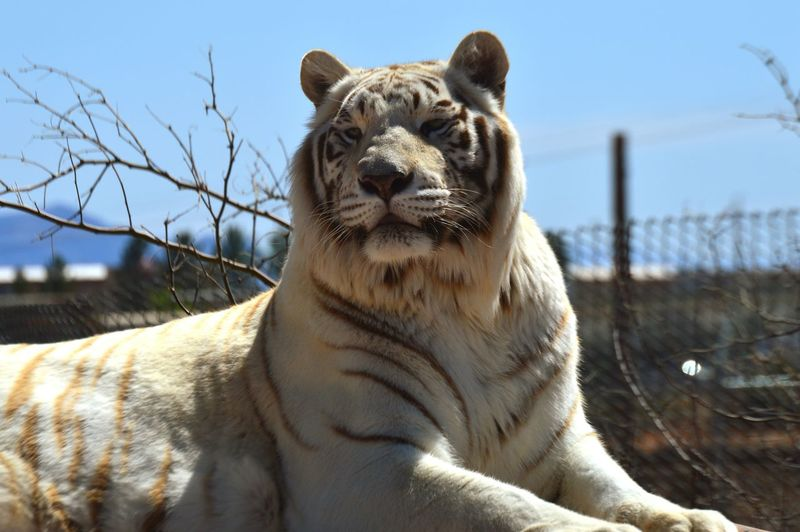 Close-up of white tiger in zoo against sky