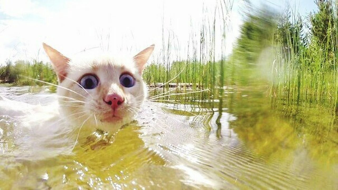 domestic cat, pets, domestic animals, one animal, water, whisker, feline, animal themes, lake, day, outdoors, mammal, no people, nature, close-up