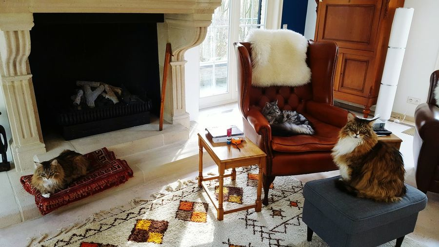 Cats Home Interior Cat Maine Coon Cat Furnitures English Chesterfield Home Interior Window Statue Domestic Cat Feline Kitten At Home Male Likeness