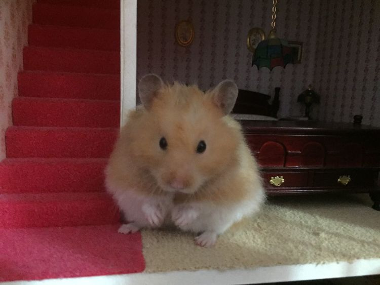 Animal Close-up Cute Dolls House Hamster Home Indoors  One Animal Pets Syrian Hamster
