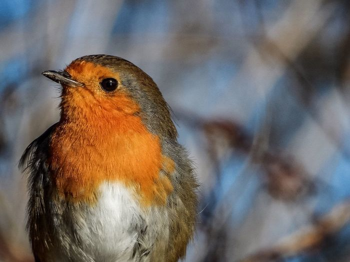 Birds Of EyeEm  Birds Up Close Bird Photography Robin Redbreast Detail Zoom Wildlife & Nature Profile Portrait Animal Close-up Nature Nature Photography EyeEmBestPics EyeEm Best Shots EyeEm Nature Lover Huffpostgram