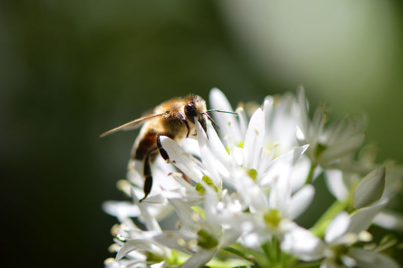Bee collecting nectar from wild garlic... Insect Flower Animals In The Wild One Animal Nature Fragility Selective Focus Plant Uncultivated Feeding  Macro Close-up Tranquility Full Length Animal Themes Outdoors Freshness Wild Garlic Bee Honey Bee Apis Mellifera Collecting Nectar Macro Insects In The Forest Ramsons The Great Outdoors - 2017 EyeEm Awards