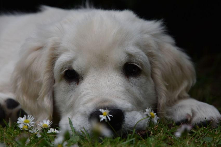 Dogs Dogs Of EyeEm Golden Retriever Hund Puppy Love Animal Themes Close-up Day Dog Domestic Animals Hunde Hundewelpe Labrador Retriever Mammal No People One Animal Pets Puppy Welpe