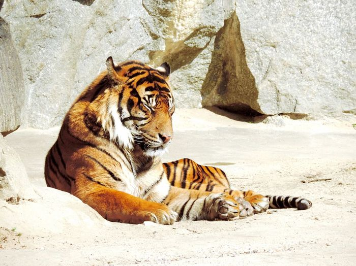 Close-up of tiger relaxation