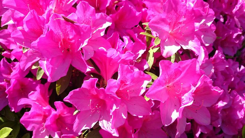 Azalea Nature Plants Sunny Day Pink Flower