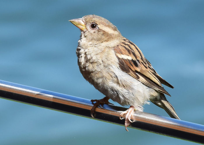 Close-up of sparrow perching on railing