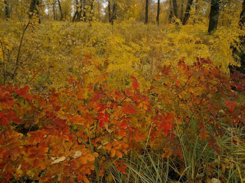 There's no colour enhancing or any filters.Autumn Leavesleafage Leafage Foliage осень листва Automne Feuillage Feuilles Siberia
