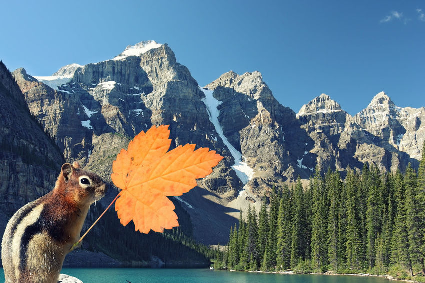 Squirrel holds a maple leaf . Mountain lake and high mountains in the background. (Rocky Mountains Canada) Composition of 3 pictures, a little bit noise added Composition Photomontage Postcard Postcode Postcards Squirrel Striped Squirrel Animal Themes Autumn Beauty In Nature Canada Close-up Lake Landscape Leaf Mammal Maple Leaf Mountain Mountain Range Nature No People One Animal Rocky Mountains Tourist Destination Travel Destinations Welcome