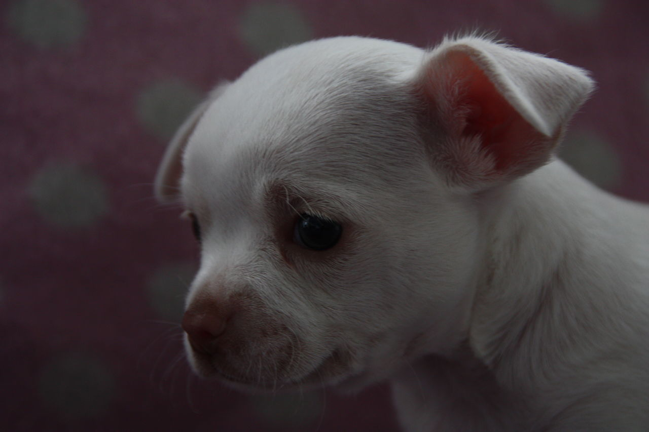 Close-Up Of Cute White Puppy