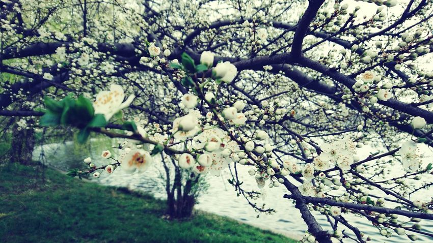 Spring Green Spring Landscape Romania Bucharest March Showcase Spring Blooms Spring Blossoms Spring Is In The Air Spring Flowers Spring Has Arrived Spring Time Springtime Spring Is Coming  Spring White Flowers White Flowering Trees Trees Blossoming White Trees Blossom Tree Blossom