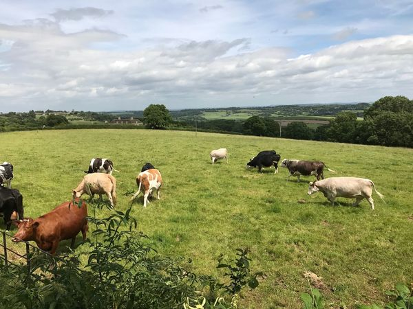 Perspectives On Nature Domestic Animals Grass Sky Livestock Field Cow Nature Animal Themes Cloud - Sky Grazing Cattle Landscape Mammal No People Outdoors Day Tranquil Scene Green Color Pasture Scenics Cows Grazing Cows Cows In A Field Grazing