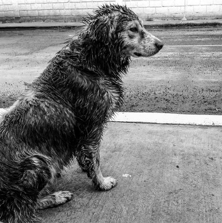 El Perrito Picudo. Dog One Animal Animal Themes Side View No People Day Rainy Days Saddog B&w Dog Photography Welcome To Black