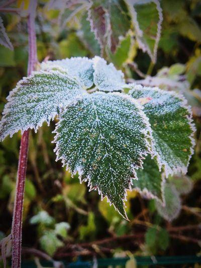 Frost Hamburg
