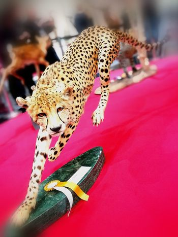 cheetah, a fantastic work of taxidermy by Luca Gallo (Italy) Taxidermy Taxidermy Art Hohe Jagd Salzburg Animal Themes Pink Color Beauty Close-up Leopard Indoors  Day