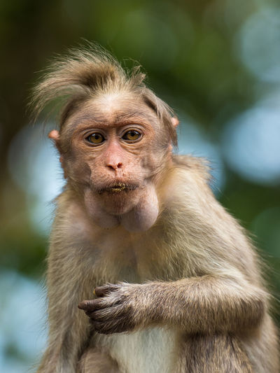 Close-up portrait of bonnet macaque in forest