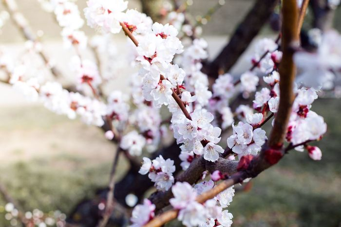 ❤️ Nature Nature_collection Nature Photography Naturelovers Hugging A Tree April Apricot Apricot Blossom ApricotBlossom Apricot Tree Blossom Japanese Garden Botanical Gardens Flowers Spring Flowers абрикос абрикосовое дерево весна цветы
