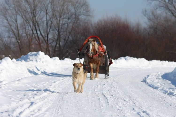 Russian Winter Troika Russia Ice Frozen Landscape  Frozen Nature Joy Of Life Snow Cold Temperature Winter Animal Themes Mammal Animal Domestic Animals Domestic Dog Transportation White Color Environment Outdoors Canine Vertebrate Tree One Animal Nature Deep Snow Pets