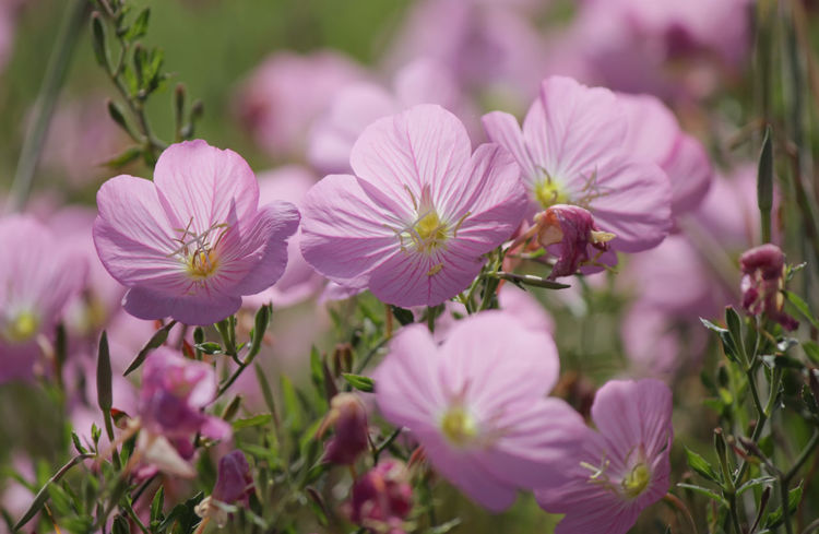 Pink evening primrose Flowers,Plants & Garden Pink Evening Primrose Plant Primrose Beauty In Nature Bloom Blooming Blooming Flower Botany Close-up Closeup Evening Primrose Flower Flower Collection Flower Head Flowers Freshness Growth Nature Outdoors Petal Pink Flower Plant