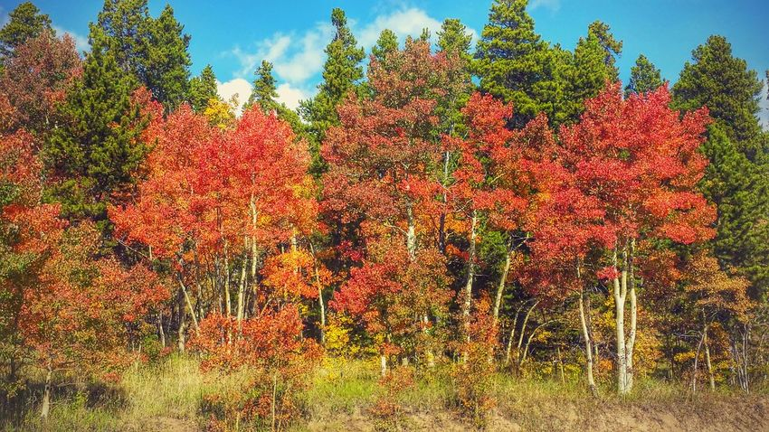 Colorado Colors Of Autumn Autumn Leaves Rocky Mountains Aspen Trees