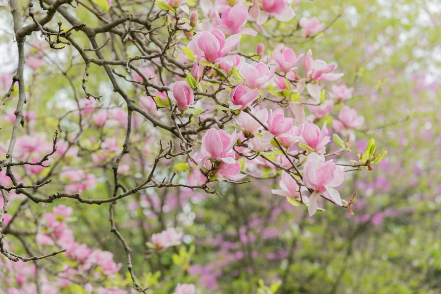Pink Magnolia tree EyeEm Gallery EyeEm Nature Lover Eyemphotography Plant Pink Color Flowering Plant Flower Beauty In Nature Freshness Tree Blossom Fragility Branch Growth Vulnerability  Nature Day No People Focus On Foreground Close-up Springtime Petal Outdoors