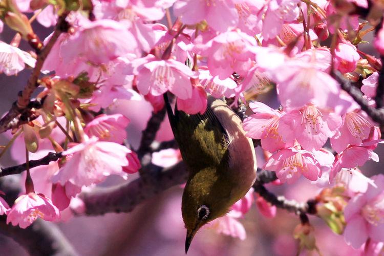 Bird Sakura Blossom