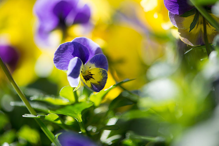 Colorful spring flowers in yellow and purple shades