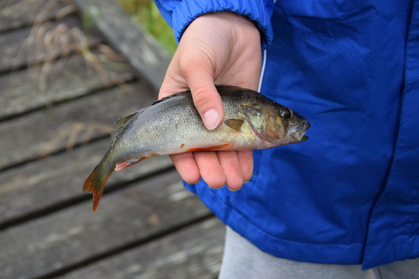 Fisher. Catch Perch Catch Of Fish Catching A Fish Close-up Day Fish Fish In The Hand Fisher Fishing Food Food And Drink Healthy Eating Holding Human Hand Leisure Activity Lifestyles Men Nature One Animal One Person Outdoors Real People Seafood
