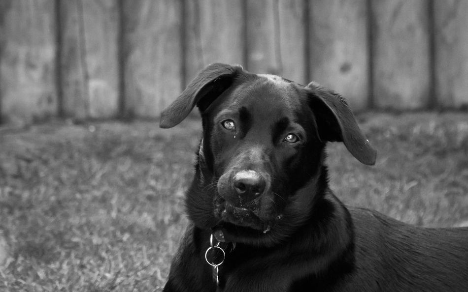 Handsome young puppy 8 month old Stanley Black and White Portrait Dog Walking Dog Lover DogLove Dogs Dogs Of EyeEm Animal Themes Close-up Day Dog Dog Love Dog Walker Doglover Dogoftheday Dogslife Dogstagram Dog❤ Domestic Animals Focus On Foreground Looking At Camera Mammal No People One Animal Outdoors Pets Portrait