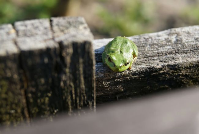 Animals In The Wild Animal Wildlife No People Close-up Animal Themes Day Nature Frog Nature Photography EyeEm Best Shots - Nature Nature Non Urban Scene Mygardenlove